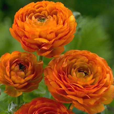 Лютики Orange