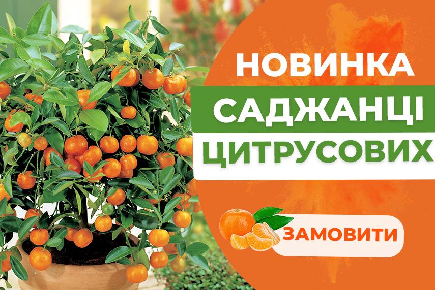 Саджанці цитрусових рослин