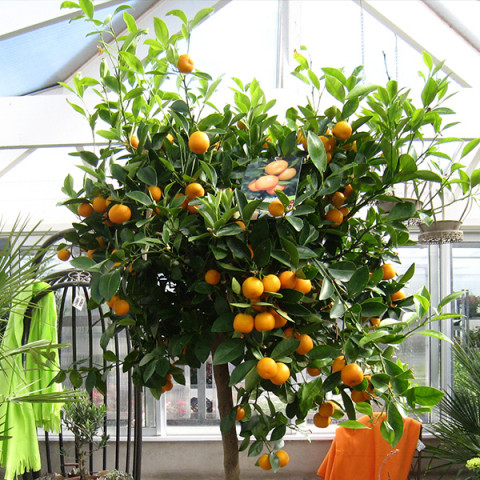 Апельсин Гамлин контейнер 2 л