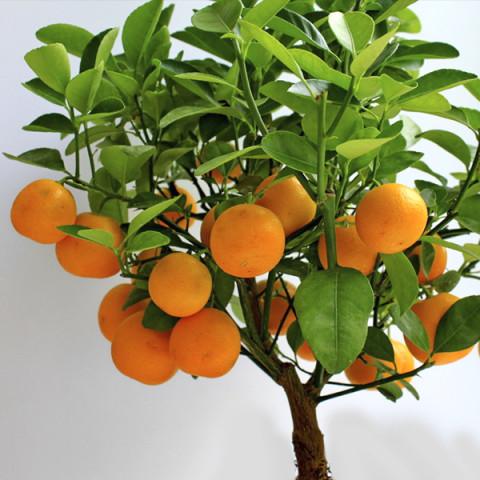 Апельсин Навелина контейнер 2 л