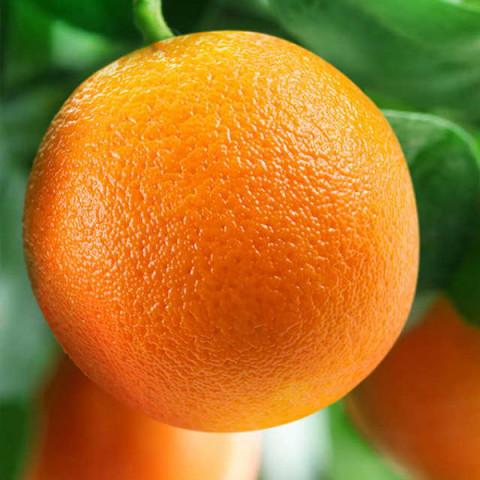 Апельсин Вашингтон Навел контейнер 2 л