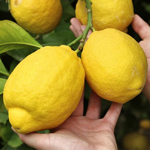 Лимон Киевский крупноплодный контейнер 1 л