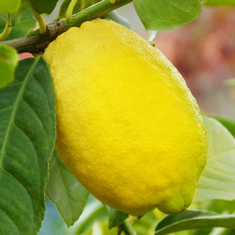 Лимон Новогрузинский контейнер 2 л