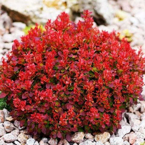 Барбарис Red Jewel