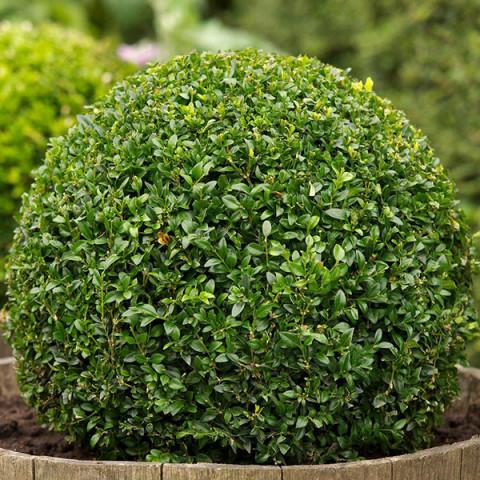Самшит вечнозеленый Suffruticosa (Суффрутикоса) контейнер 0.5 л