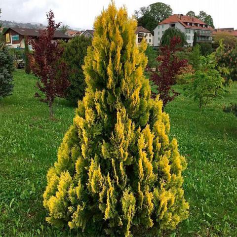Туя Yellow Ribbon (Єллоу Ріббон)