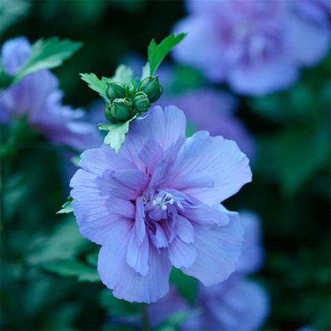 Гибискус махровый Blue Chiffon