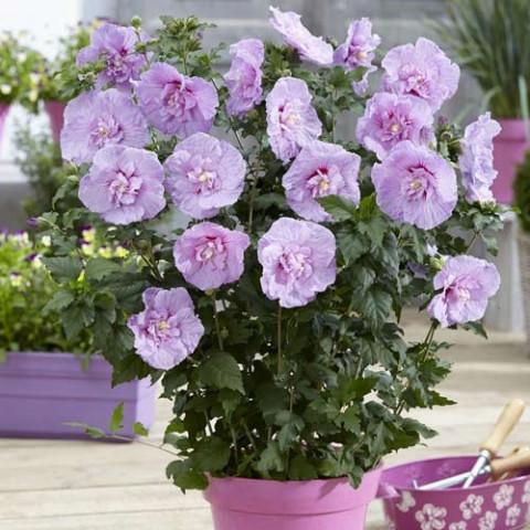 Гібіскус махровий  Lavender Chiffon