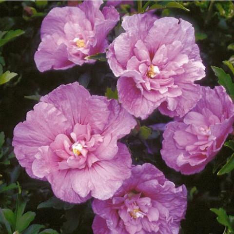 Гибискус махровый  Lavender Chiffon