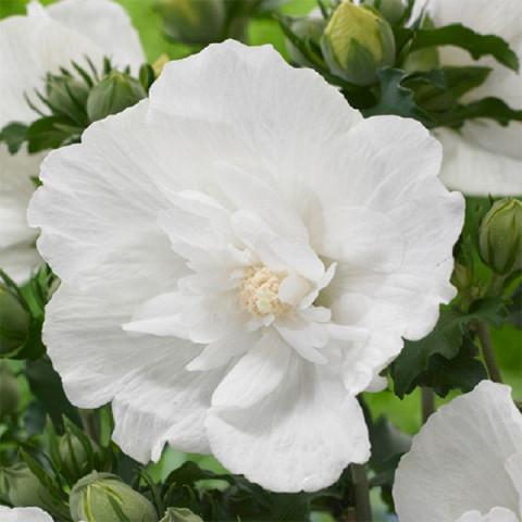 Гибискус махровый White Chіffon