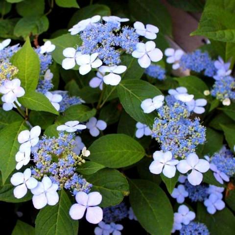 Гортензія Bluebird