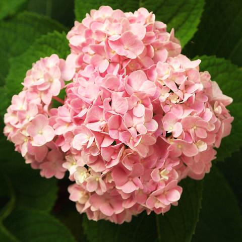 Гортензия Silky Pink