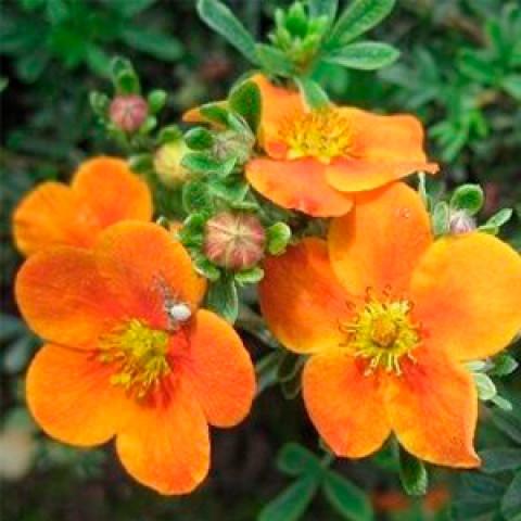 Лапчатка Tangerine