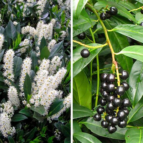 Лавровишня лекарственная Rotundifolia