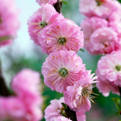 Миндаль декоративный Розовый Фламинго