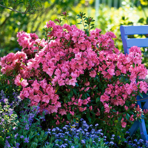 Рододендрон Blaauw's Pink