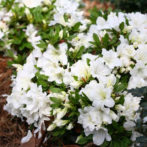 Рододендрон White lady