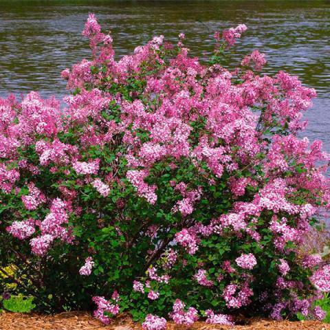 Сирень Пинк Парфюм (Pink Perfume)