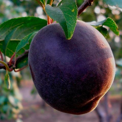 Абрикос Черный Персиковый