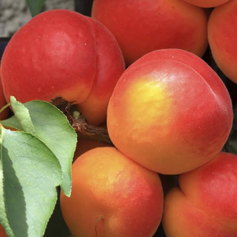Ерлі Ред Оранж абрикос 1 клас