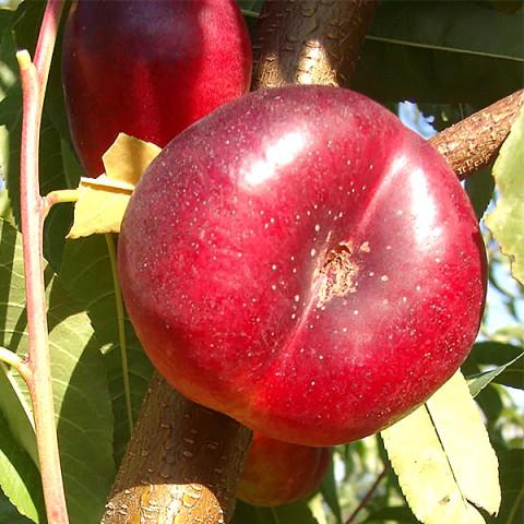 Нектарин Месембрине (инжирный)