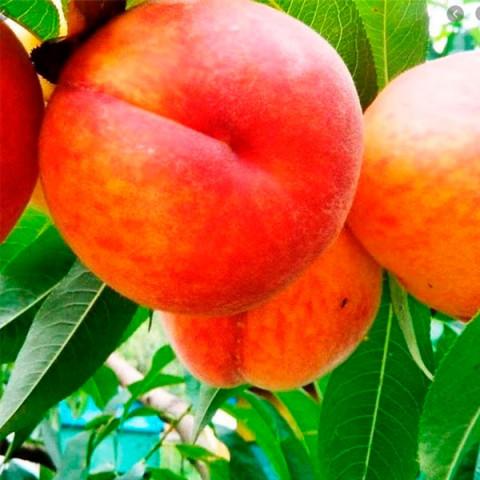 Персик Мостиський ранній