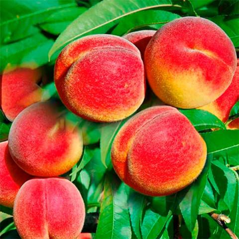 Персик колоновидный Тотем садовода