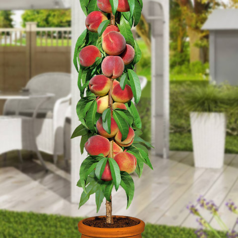Персик колоновидний Тотем садовода