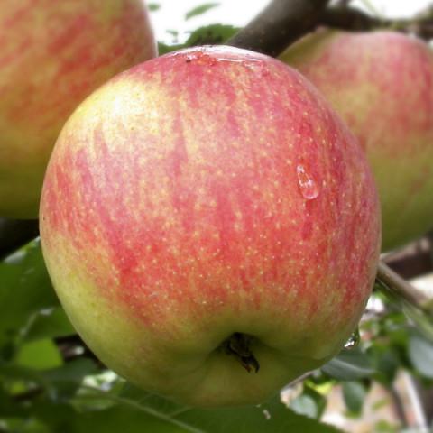 Яблуня Чемпіон Арно
