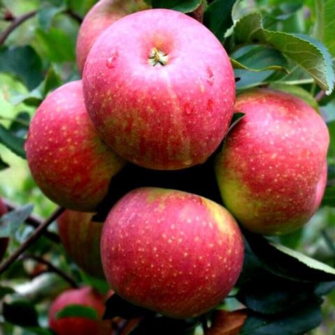 Яблуня Чемпіон Рено