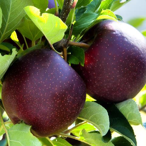 Яблуня Чорний Принц