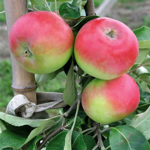 Яблуня Ерлі Женева