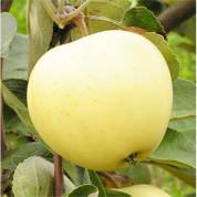 Яблуні ранні (літні)