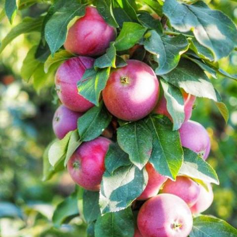 Яблоня колоновидная Легенда