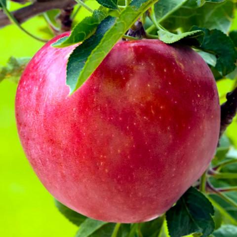 Яблуня Моді