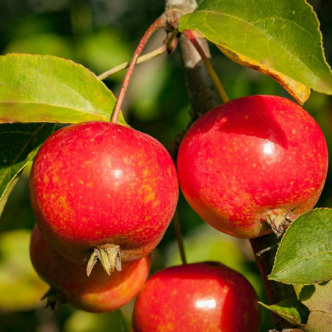 Яблуня Райське Яблучко