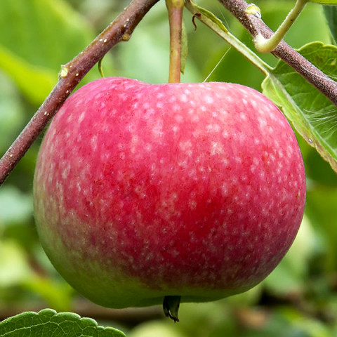 Яблуня Віста Белла