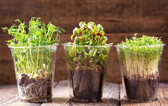 Мікрозелень або мікрогрін за кілька днів – вирощування вітамінної зелені з насіння