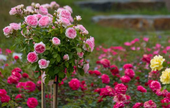 Штамбові троянди – розкішна окраса саду