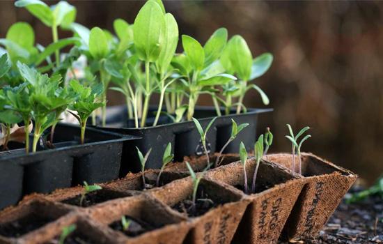 Схожість насіння: підготовка, терміни сходів, посів без помилок