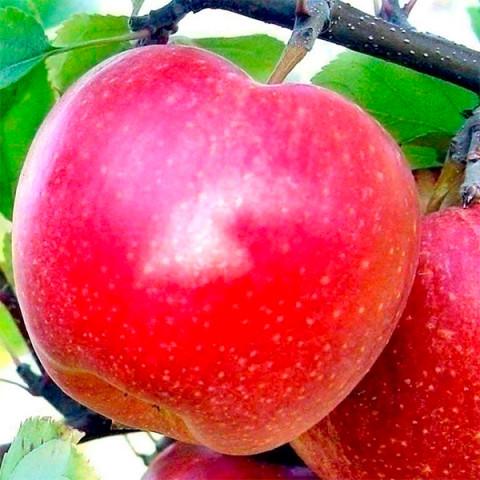 Яблуня Гала Маст