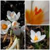 Крокус Ботанический Ard Schenk
