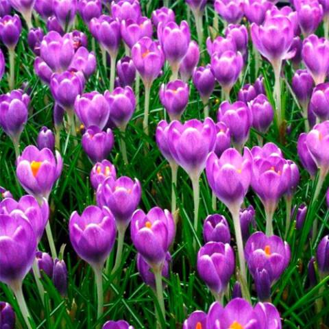 Крокус Ботанічний Barr's Purple