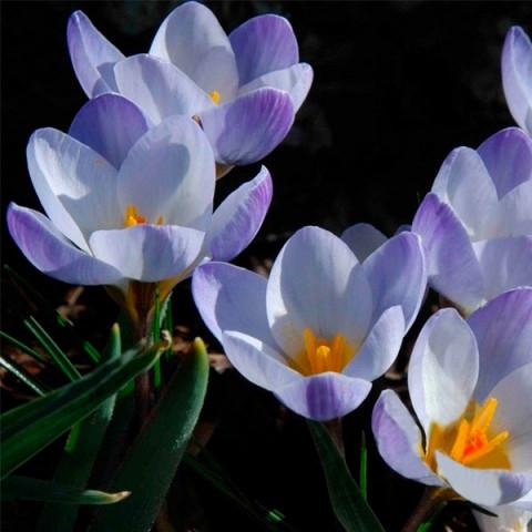 Крокус Ботанический Blue Pearl