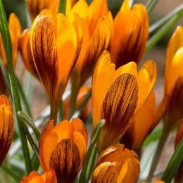 Крокус Ботанический Orange Monarch