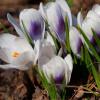 Крокус Ботанический Prins Claus