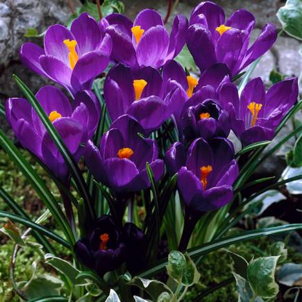 Крокус Великоквітковий Flower Record