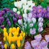 Крокус Крупноцветковый микс
