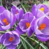 Крокус Крупноцветковый Remembrance