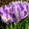 Крокус Крупноцветковый Vanguard